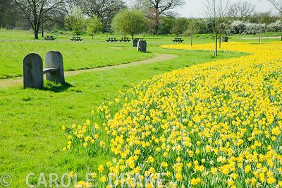 River of daffodils. RHS Garden Hyde Hall, Rettendon, Chelmsford, Essex, UK