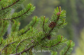Lodgepole Pine Branches and Cones in Olympic National Forest