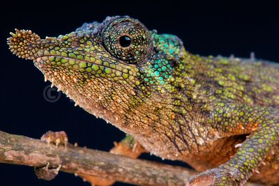 Prickly dwarf chameleon (Rhampholeon spinosus) photos