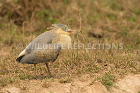 whistling_heron_chicks-4