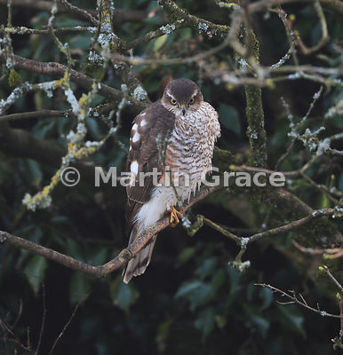 Juvenile male Eurasian Sparrowhawk (Accipiter nisus) perches in a garden Lilac tree (Syringa sp), Lake District National Park, Cumbria, England