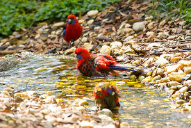 Crimson Rosella in a creek