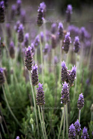Field of lavender flowers.