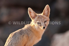 kit_fox_portrait