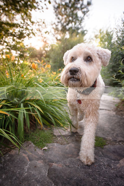clipped blond dog walking on flagstone in garden flowers