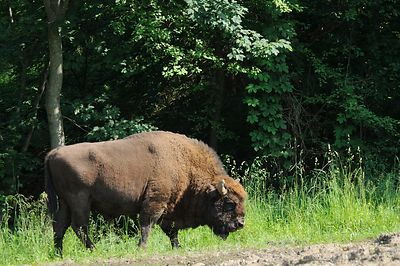 Bison d'Europe s'alimentant