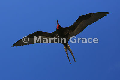 Great Frigatebird male (Fregata minor ridgwayi) flying overhead, from below, Darwin Beach, Genovesa, Galapagos Islands