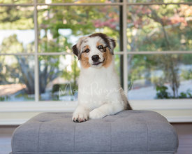Australian Shepherd Puppy with Paws on Ottoman
