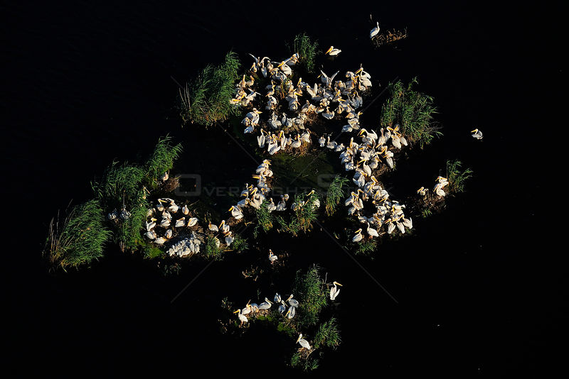Eastern white pelicans (Pelecanus onocrotalus), aerial view of flock nesting within Danube delta rewilding area, Romania, June 2012