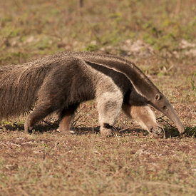 Giant Anteater wildlife photos