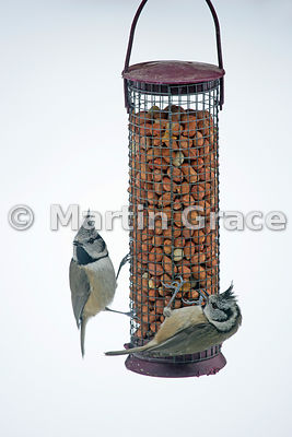Two Crested Tits (Lophophanes (Parus) cristatus) feeding from a peanut feeder in a domestic garden, Badenoch & Strathspey, Scottish Highlands