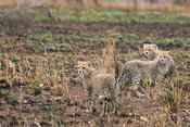 Three cheetah cubs, Kruger National Park, South Africa