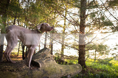 grey gundog standing on log in pine trees with sunflare
