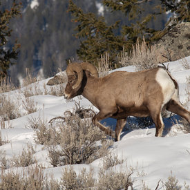 Bighorn Sheep wildlife photos