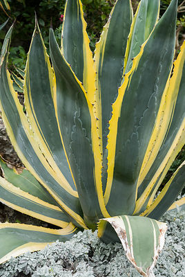 Agave americana 'Variegata'. The Shute, nr Ventnor, Isle of Wight, UK