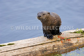 River Otter Pup Log Stand 1