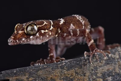 Thin-banded forest gecko (Cyrtodactylus consobrinus) photos
