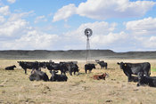 Black angus cows on the Colorado plains