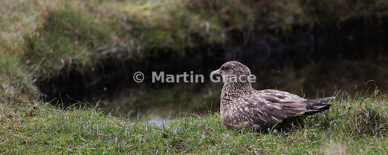 Great Skua (Bonxie) (Stercorarius skua, Catharacta skua) sitting by a peat hagg, Hermaness National Nature Reserve, Unst, Shetland: 2.5 to 1 letterbox format
