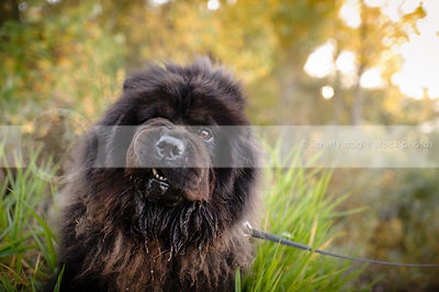 headshot of humorous black chow dog drooling in natural setting