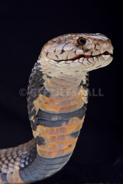 Nubian spitting cobra (Naja nubiae) photos