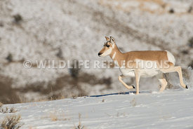 pronghorn_snow_stepper-5
