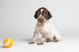 Pointer puppy sitting next to orange ball in studio