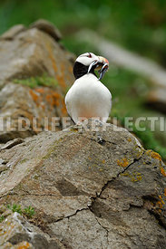 Horned Puffin Mouthful Fish Vertical 13