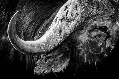 5862-Buffalo_Horn_South_Africa_2008_Laurent_Baheux