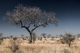 Leafless tree in a bleached, flat, dry bushveld landscape, a single elephant standing under a tree in the distance, clear blue sky