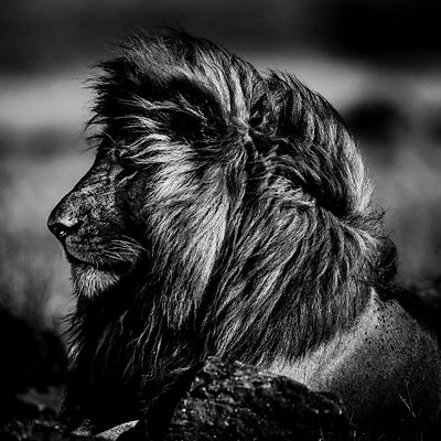 8748-Lion-Sun_on_my_face_and_Wind_in_my_hair_Kenya_2013_Laurent_Baheux