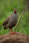 Red-necked spurfowl, Pternistis afer, Lake Mburo National Park, Uganda