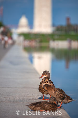 Ducks at the Lincoln Memorial Reflecting Pool