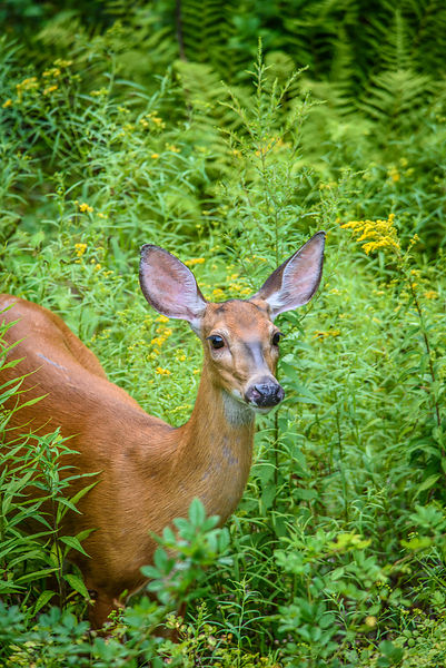 White-Tailed Deer Doe in Early Summer