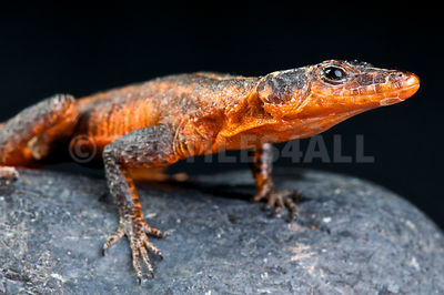 Red rock lizard (Platysaurus torquata cf.jansoni) photos