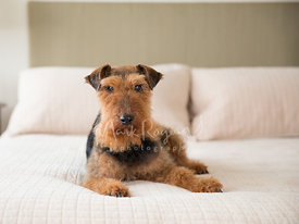 Welsh Terrier Lying on bed looking toward camera
