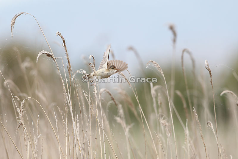 European Reed Warbler (Acrocephalus scirpaceus) in flight through reed bed, Parque Nacional de las Tablas de Daimiel, Castilla-La Mancha