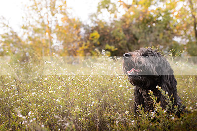headshot of black shaggy dog sitting in flowers