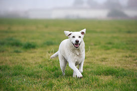 Happy White Labrador Running on Grass with Smile