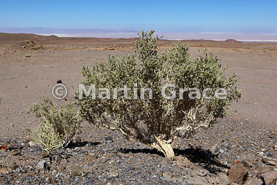 Rikarika (Acantholippia deserticola), an aromatic shrub with spasmolytic properties, used for treating stomach pain, Socaire, Atacama