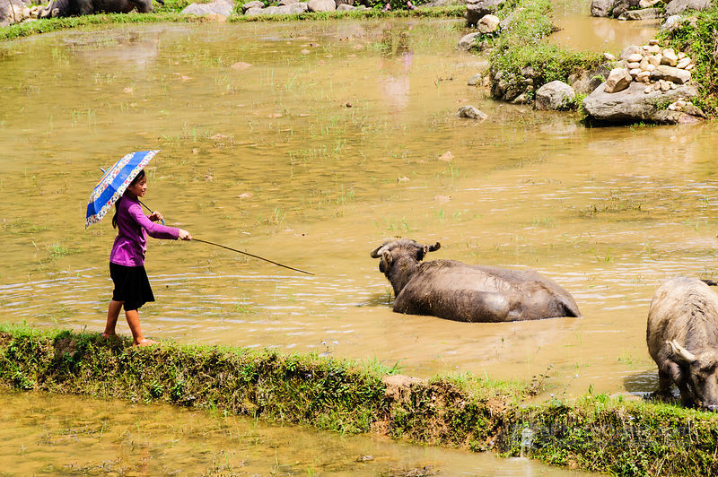 Hmong Girl Tending Buffalo in Muddy Rice Paddy with Umbrella
