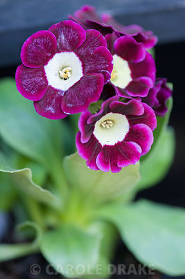 Auricula 'Argus'. Summerdale House, Lupton, Cumbria, UK