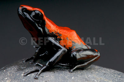 Splash-backed poison frog (Adelphobates galactonotus)  photos