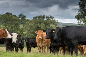Herd of commercial beef suckler cattle with Limousin sired calves in the Yorkshire Dales, UK.