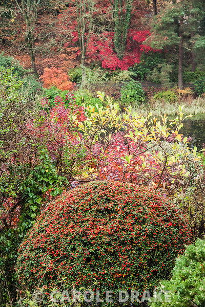 Clipped cotoneaster with red of cotinus behind and a group of colourful acers amongst tall trees on the opposite side of the valley. The Dingle Garden, Welshpool, Powys, Wales