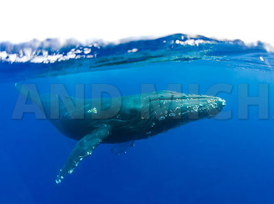 Hawaii, Maui, Humpback Whale over under water