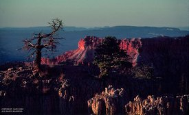 Bryce Canyon, old tree at sunrise