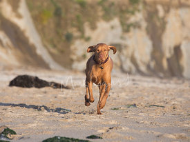 Hungarian Vizsla Running on Beach with Cliff in Background