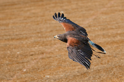 Harris Hawk Bird of Prey Flying