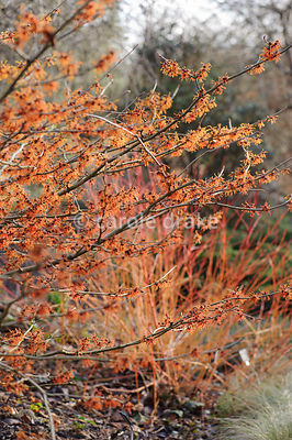 Hamamelis x intermedia 'Aphrodite'. Sir Harold Hillier Gardens, Ampfield, Romsey, Hants, UK